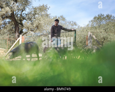 Man on farm opening gate for pigs - Stock Photo
