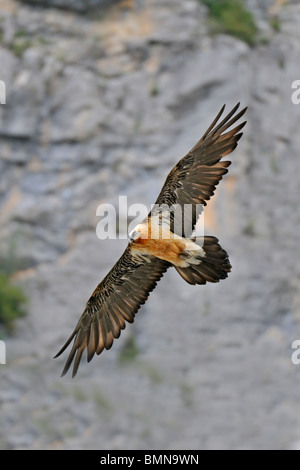 Close up Lammergeier  (Gypaetus barbatus) in flight, Spanish Pyrenees. - Stock Photo
