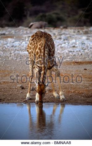 Namibia - Etosha national park - Giraffe (Giraffa camelopardalis) drinking from a waterhole - Stock Photo
