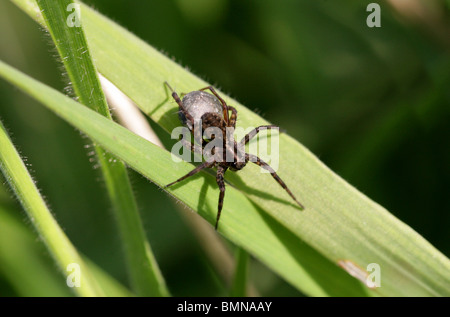 Female Wolf Spider with Egg Sack, Pardosa lugubris, Lycosidae (wolf spiders), Araneae (spiders), Arachnida - Stock Photo