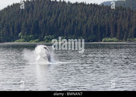 Humpback whale breaching off Icy Straits Point Alaska 8 - Stock Photo