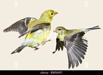 Goldfinch (Spinus tristis) females in action poses, cut outs - Stock Photo