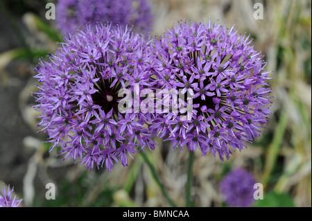 Allium Hollandicum Purple Sensation Ornamental onion in flower - Stock Photo