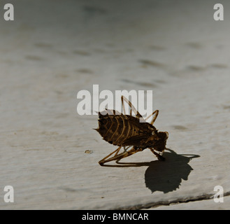 Dragonfly nymph casing on a sunlit windowledge - Stock Photo