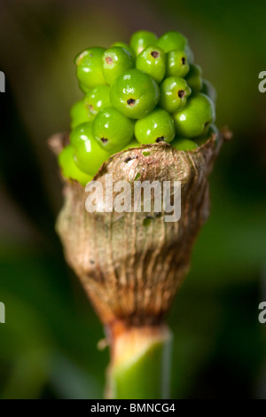 arum maculatum Lords and Ladies Cuckoo Pint closeup in UK woodland - Stock Photo