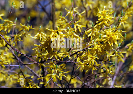 forsythia x intermedia spectabilis bright yellow flowers spring vigorous variety bloom blooming blossom blossoming - Stock Photo