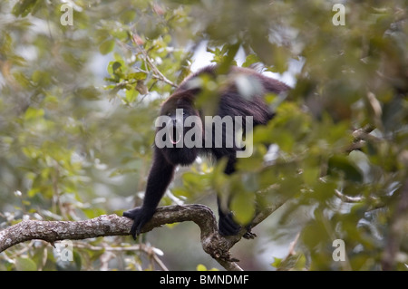 Mexican or Guatemalan Black Howler Monkey (Alouatta pigra), Belize. Endangered species. - Stock Photo