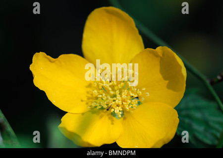 Kerria japonica japanese rose spring single yellow flower deciduous bloom blossom blossoming - Stock Photo