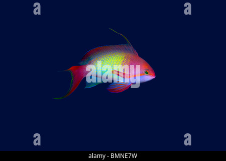 Small colorful tropical fish on blue background - Stock Photo
