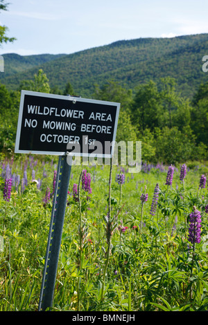 Lupine in Crawford Notch State Park during the spring months in the White Mountains, New Hampshire USA - Stock Photo