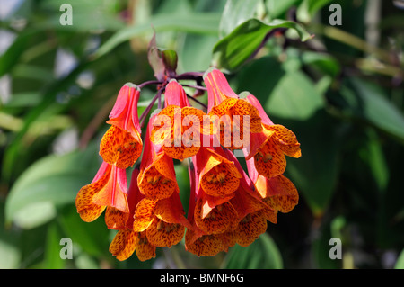 Macleania insignis unusual red orange flower plant bloom blossom Ericaceae - Stock Photo