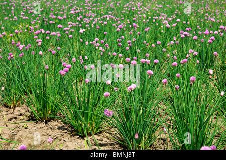 Field with flowering Chives (Allium schoenoprasum) - Stock Photo