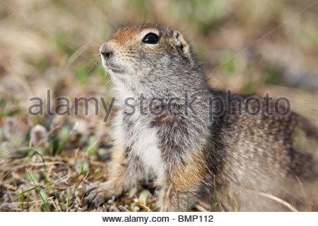 Arctic Ground Squirrel, Denali National Park, Alaska - Stock Photo