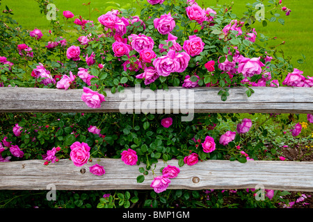 Deep pink roses and a rustic old fence at the Junction House restaurant in Kingsland, Texas, USA. - Stock Photo