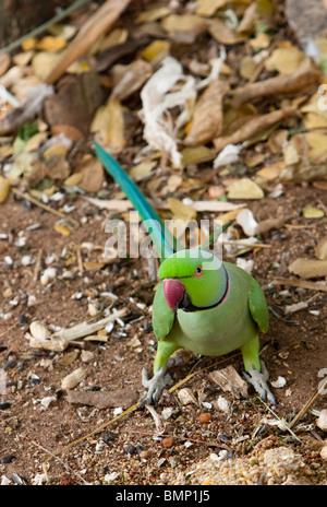 A male Indian Ring-necked Parakeet (Psittacula krameri manillensis) feeding on grains. - Stock Photo