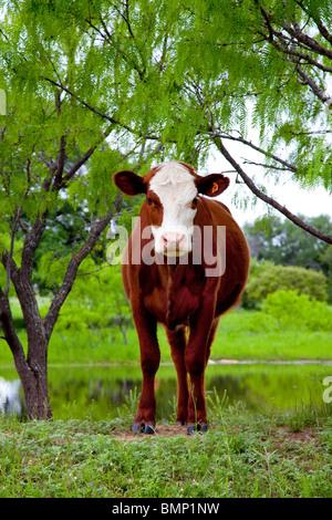 how to set up a beef heifer