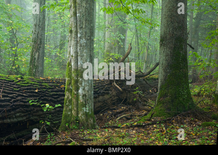Broken oak lying with next one behind. Deciduous stand with old oak in background - Stock Photo