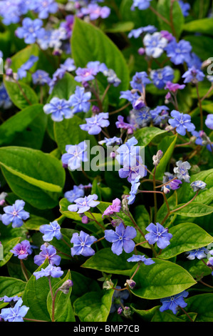 Omphalodes verna Blue eyed Mary pale blue flowers perennial bloom blooming blossom summer groundcover - Stock Photo