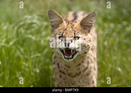 A Serval Cat taken on 12th June 2010 at the Wildlife Heritage Foundation(WHF) - Stock Photo