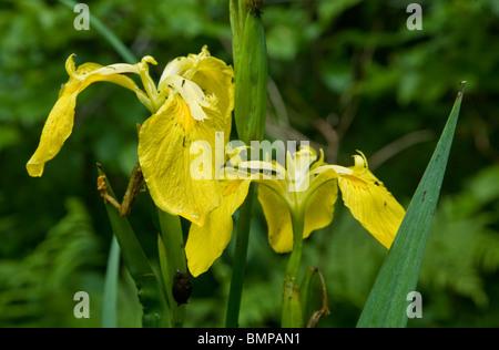 Yellow Water Flag flower closeup - Stock Photo