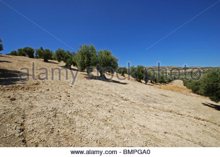 Olive grove with deep ridges in soil, near Baeza, Jaen Province, Andalucia, Spain, Western Europe. - Stock Photo