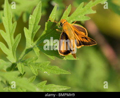 Skipper Butterfly on Common Ragweed (Ambrosia artemisiifolia) - Stock Photo
