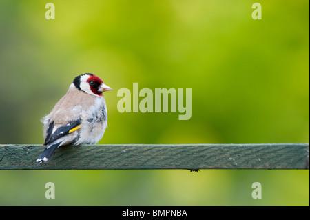 Goldfinch in an english garden sat on wooden trellis. UK - Stock Photo