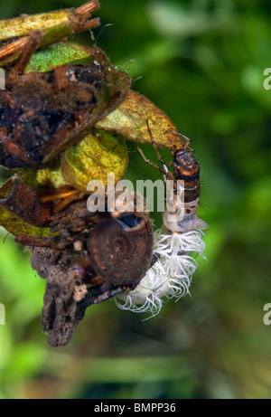 Caddisfly larvae are the youthful stage of the Caddisfly, an insect. - Stock Photo