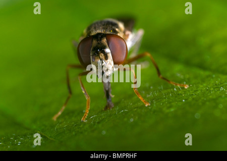 Extreme close up of the head of the syrphid or hover fly, Eupeodes luniger, feeding on a leaf - Stock Photo