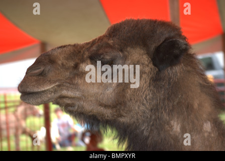 Camel Head in tent at small children's touching zoo. - Stock Photo