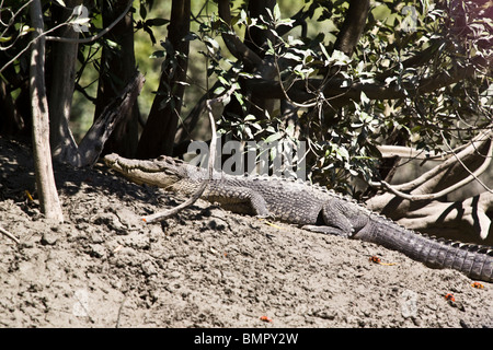This saltwater crocodile Crocodylus porosus was observed during a wildlife-spotting excursion Hunter River Australia - Stock Photo