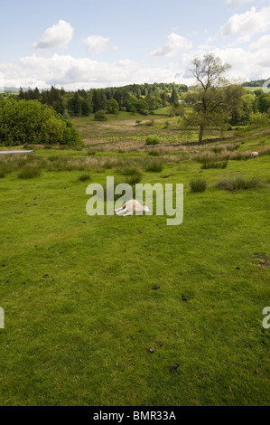 Sheep grazing in a field in the hills above Lake Windermere, Lake District - Stock Photo
