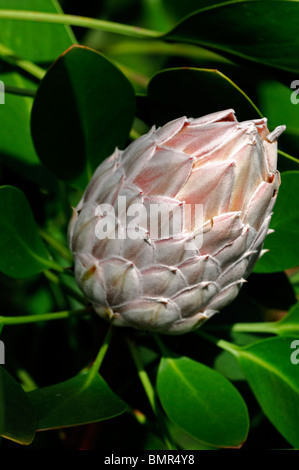 protea cynaroides king protea Giant Protea Honeypot King Sugar Bush National Flower of South Africa inflorescence - Stock Photo