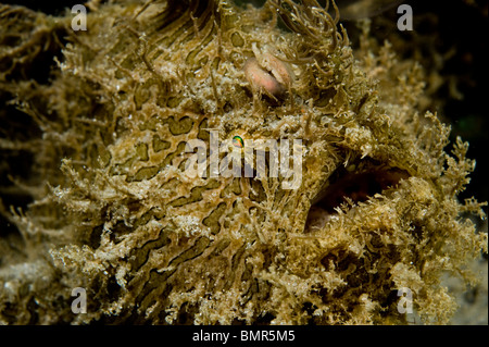 Striated Frogfish (Antennarius striatus) photographed near the Blue Heron Bridge in Singer Island, FL. - Stock Photo
