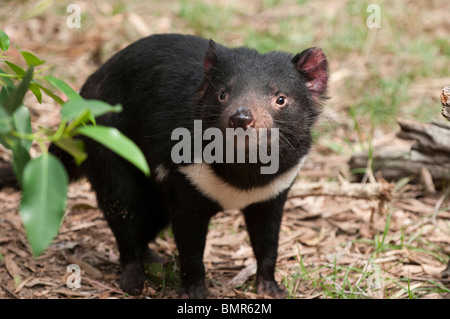 Tasmanian Devil, Currumbin Wildlife Sanctuary, Gold Coast, Queensland, Australia - Stock Photo