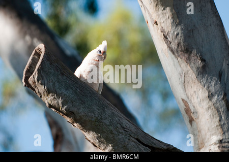 Little Corella, Queensland, Australia - Stock Photo