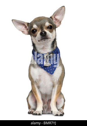 Chihuahua wearing blue handkerchief, 3 years old, sitting in front of white background - Stock Photo