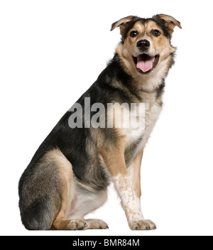 Mixed Australian shepherd dog, 8 months old, sitting in front of white background - Stock Photo