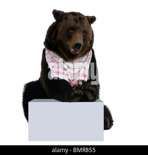 Siberian Brown Bear, 12 years old, with bib on stting in front of white background - Stock Photo