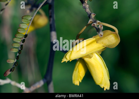 Sophora tetraptera Large-leaved Kowhai Taupo Kowhai (New Zealand) yellow flower bloom blossom spring - Stock Photo