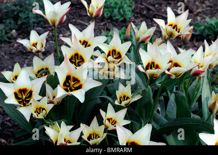 tulipa johann strauss kaufmannia group 2 flowers spring bunch group cluster petals red edged butter yellow - Stock Photo
