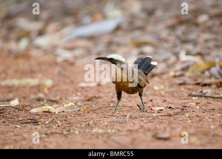 Grey-crowned Babbler Pomatostomus temporalis Australia - Stock Photo