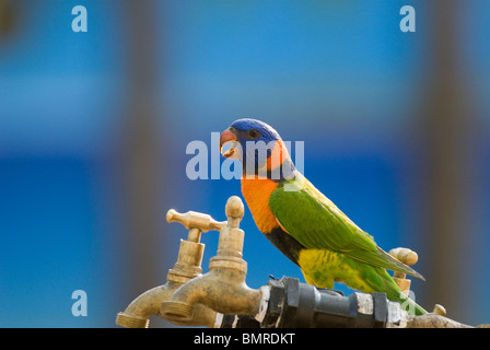 Red-collared Lorikeet Trichoglossus rubritorquis Australia - Stock Photo