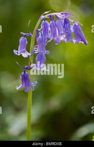 Common Bluebell, Hyacinthoides non-scripta, Endymion non-scriptum, Scilla non-scripta - Stock Photo