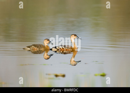Plumed Whistling Duck sDendrocygna eytoni Mareeba Wetlands Queensland Australia - Stock Photo