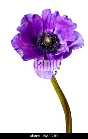 Black and Purple Anemone Isolated on a White Background - Stock Photo