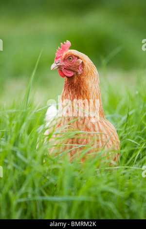 A Rhode Island Red hybrid hen chicken (Gallus gallus domesticus) on a farm in Lincolnshire, England - Stock Photo