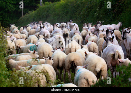 Flock of sheep rushed in country lane. Farming in Rural Wales Horizontal 104217 Sheep - Stock Photo