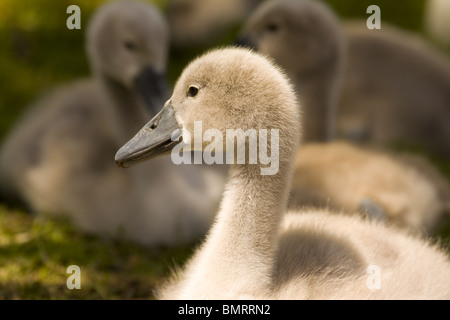 A group of young cygnets sitting on the grass in a London park. - Stock Photo