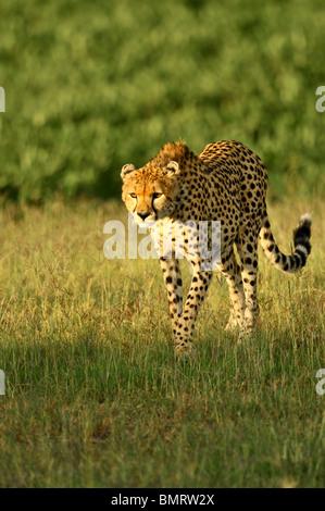 Cheetah, Acinonyx jubatus, Masai Mara National Reserve, Kenya - Stock Photo